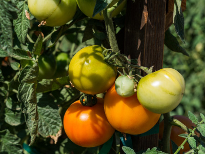 Yellow, orange, and green tomatoes on a bush.